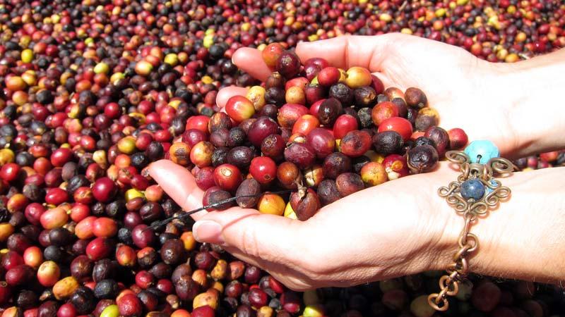 panama-boquete-coffee-032012-4